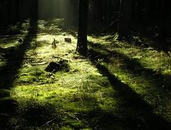 The green world of the fairies (:Linda:) Tags: shadow tree green forest germany moss woods village thuringia stump grn flechte schatten treestump moos conifer nadelbaum baumstumpf konifere brden