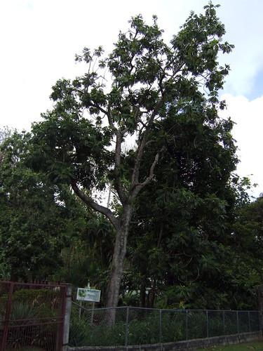 blighfruit