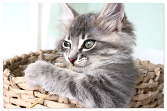 Morpheu (Fernando Felix) Tags: portrait pet cats cute face look cat poser kitten funny sweet tabby kitty kittens gatos gato felinos tabbies katze graceful gatto gatti gatinho tomcat gatinhos niedlich ktzchen 50faves 35faves 3000v120f 25faves abigfave bestofcats fernandofelix