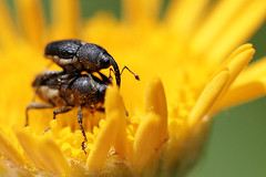 Mating beetles (weevil) (equivocality) Tags: flower bug insect beatle