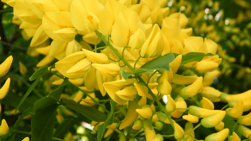 Laburnum Tree Flowers - Original