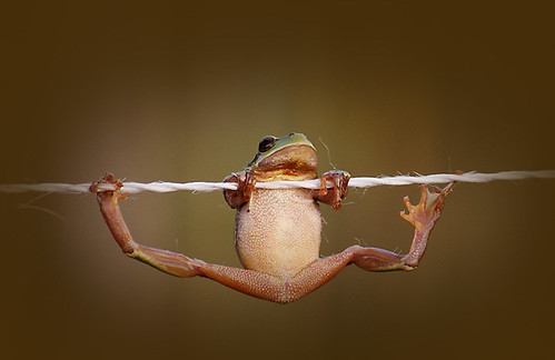 Acrobat frog (by citrit1)