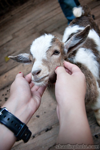 Baby Goat Face