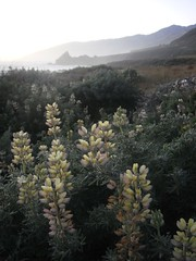 "Pale Yellow & Lavender Lupine (flygrl67) Tags: ocean california ca coast pacific bigsur pch highway1 pacificocean coastal centralcoast westcoast hwy1 pacificcoasthighway ""bigsur"" ""centralcoast"" ""pacificvalley"""