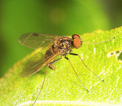 """Fly 'Family Athericidae'(1) • <a style=""""font-size:0.8em;"""" href=""""http://www.flickr.com/photos/57024565@N00/542798505/"""" target=""""_blank"""">View on Flickr</a>"""