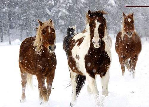 Vista Verde Ranch, Steamboat Springs, Colorado -- Horses running winter snow