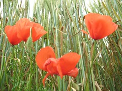Wich camera ? There is no camera (courambel) Tags: poppies champ bl coquelicots coqueliquot pavots