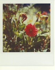 dying flowers (Polaroid Joe) Tags: polaroid sx70 time zero