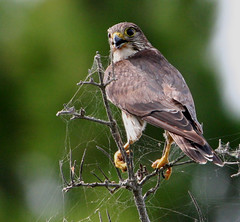 Merlin (Hard-Rain) Tags: bird nature animal michigan wildlife aves lakemichigan merlin falcon predator soe mackinac falco feathery falconiformes falconidae falcocolumbarius specanimal animalkingdomelite abigfave explore40 falconinae