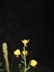 Lillies at night