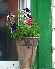 Bucket o flowers (she who is) Tags: flowers white reflection green glass farm rusty petunias crusty colorphotoaward coolestphotographers sadbucketface fotocompetition fotocompetitionbronze