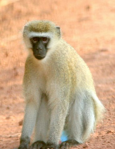 black-faced vervet monkey...I would have named it something else...