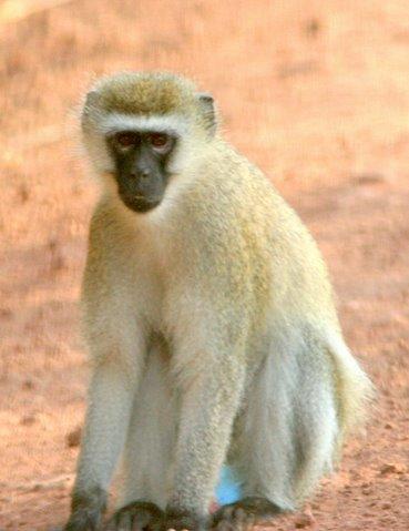 black-faced vervet monkey...I would have named it something else...