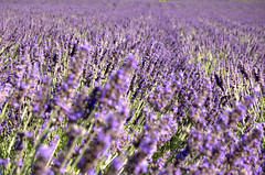 DOF (One-Speed Photography) Tags: flowers dof lavender sanjuanisland lukemillironphotography