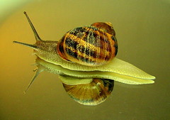 Snail: Fast Forward (Asadbabil (super busy)) Tags: macro reflection nature colors animals slow snail canons2is superaplus aplusphoto
