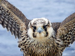 Ocean Stowaway 2 (SewerDoc (200 Explores)) Tags: ocean cruise sea celebrity bird nature closeup eyes hawk ngc wing feathers atlantic solstice falcon caribbean birdofprey peregrine peregrinefalcon platinumheartaward sewerdoc jaredfein