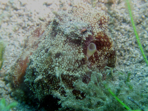 brown-spotted octo