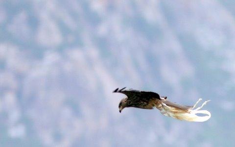 Black Kite with Plastic Caught in Talon Nandi Hill 19Jun07