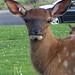 Elmore Elk