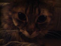 Squishy-faced Saffy (redmeg8) Tags: pets animals cat portraits bigeyes tabby kitty fluffy antics saffy meganefoldenauer wwwmegalomediacom