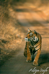 Charge of the tiger 2 (dickysingh) Tags: wild india nature outdoor wildlife tiger aditya charge ranthambore singh artphoto smrgsbord bengaltiger ranthambhore dicky tigerreserve amazingtalent instantfave specanimal specanimals animalkingdomelite kuwaitphoto ysplix excellentphotographerawards ranthambhorebagh naturewatcher kuwaitartphoto bfgreatesthits thatsbostin adityasingh dickysingh ranthamborebagh kuwaitart theranthambhorebagh exquisiteimage