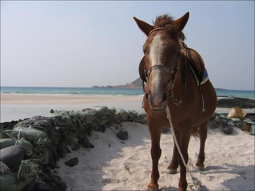 Jeju pony