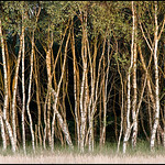Silverbirch Trees