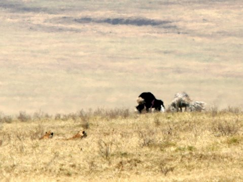 cheetahs in the savannah, watching ostrich mating dance