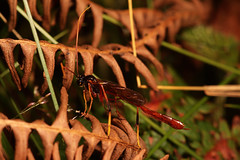 """Ichneumons Wasp(4) • <a style=""""font-size:0.8em;"""" href=""""http://www.flickr.com/photos/57024565@N00/1048586859/"""" target=""""_blank"""">View on Flickr</a>"""
