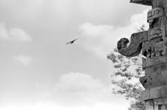 072170 04 04 (ndpa / s. lundeen, archivist) Tags: city trees blackandwhite bw bird birds mexico blackwhite ruins nick yucatan july chichenitza mexican yucatn mayan 1970 1970s chichnitz ruined yucatanpeninsula motmot ticktock dewolf nickdewolf photographbynickdewolf ticktocks motmots