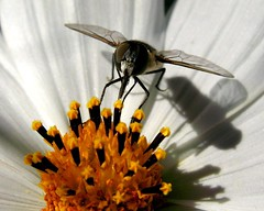 Ready for take off!~ (Starlisa) Tags: flowers summer orange white black flower yellow bug garden insect golden critter insects bugs explore blooms cosmos feasting hoverfly naturesfinest hotdays harvestseason starlisa img52392 sept11explore