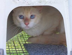 Kakashi (MyCatRanch) Tags: rescue cat siamese kakashi feral kittyschoice mycatranch