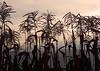 Tassels (Madeline McIntire Houston) Tags: usa silhouette rural sunrise garden washington corn farm country vegetable rochester cc cf pgc farmcountry piratetreasure utatafeature rochesterwashington photofaceoffwinner excapture thechallengegame challengegamewinner piratetreasure2 maddiemcwa utata052108
