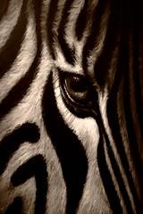 Zebra (OlivemanMC) Tags: noiretblanc backandwhite 400d wowiekazowie bestofr