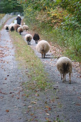 Come on, girls. Let's go home. (LisaNH) Tags: moving sheep shepherd farm sixwordstory lamb ram herd ewe myeverydaylife icelandicsheep i500