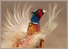 His calling.. (hvhe1) Tags: motion blur holland male bird nature animal season bravo call pheasant wildlife feathers thenetherlands specanimal hvhe1 hennievanheerden soerensebroek