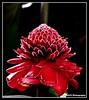 Baston del Emperador (RobertCV) Tags: macro butterfly san pentax flor el salvador mariposa andres kx baston naturesfinest emperador mywinners theunforgettablepictures robertcv