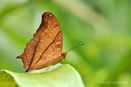Vindula erota (Fabricius) 文蛺蝶