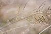 quiet beauty (elyse patten) Tags: morning winter brown nature water grass canon 50mm drops soft natural sydney australia dew droplet dreamy f18 parramatta ilikegrass elysepatten