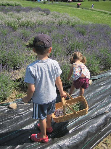 Picking Lavender in Michigan