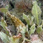 IMG_5483acrre Planehead Filefish (Stephanolepis hispidus) thumbnail