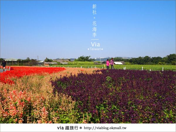 【2010新社花海】via帶大家欣賞全台最美的花海!12
