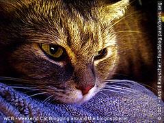 Weekend Cat Blogging - Kashim