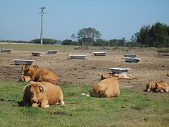 (tip-top-tinolfa) Tags: summer portugal cows lazy alentejo