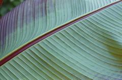 Line art (Iain Farrell) Tags: kew gardens leaf underside