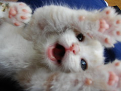 I'm Ticklish! (.abrux.) Tags: orange cute cat ginger kitten kitty belly cutecat babycat ticklish tickly cc100 ditcher bestofcats catbellylovers pet100 ditcherdeere