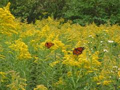 Feeding/resting Monarchs