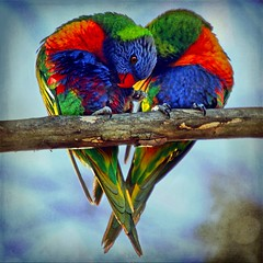 It Must Be Love (~Brenda-Starr~) Tags: bird texture fauna photoshop searchthebest heart native wildlife australian rainbowlorikeets textured copyrighted featheryfriday brendastarr allrightsreserved ghostworks artistictreasurechest