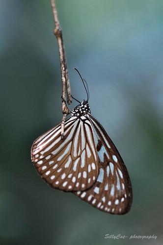 Ceylon Blue Glassy Tiger | 擬旖班蝶
