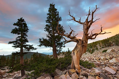 Old and New (parkflavor) Tags: trees sunset rocks nevada bristleconepine greatbasinnationalpark limberpine